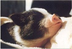 A pot belly pig can make a wonderful pet. They are intelligent, sociable, bond well with the family and are easy to train. Pet Pigs, Baby Pigs, Potbelly Pig Care, Farm Animals, Cute Animals, Miniature Pigs, Miniature Pot Belly Pig, Cute Piglets, Pot Belly Pigs