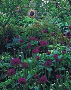Purple Alliums in the garden at Highgrove