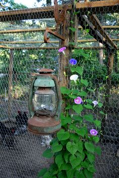 love the look of this chicken coop with the morning glory growing up the side!