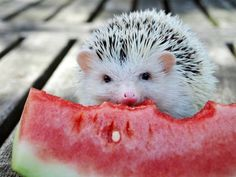 A hedgehog eating a watermelon! Could there be anything cuter?!