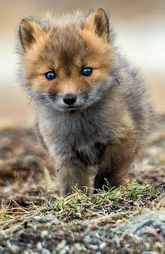 Fox Cub - Look at those precious eyes