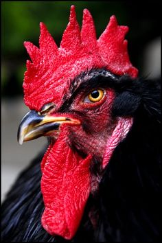 Country Living - Chickens - A Black Cochin Rooster named S'more poses for a close-up. - photo by Hollyn Johnson