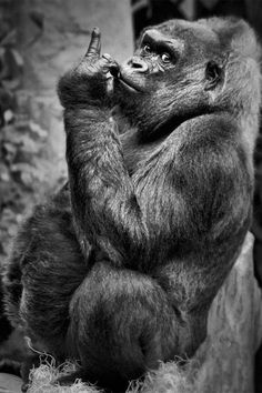 What a great expression to go along with the gesture! Don't piss off a gorilla! Haha!