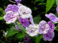 """""""Kiss-Me-Quick!"""" This South American beauty is  called the """"Kiss-Me-Quick"""" or the """"Yesterday, Today and Tomorrow."""" Flowers open a rich purple and fade to white in a few days."""