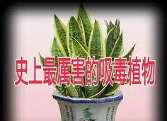 史上最厲害的吸毒植物,快選一盆搬回家養吧!! @ 001房仲資訊 :: 隨意窩 Xuite日誌