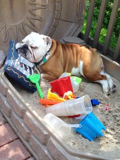 """#English #Bulldog. """"All those game are so exhausting..."""""""