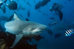 Sharks Of All Species Are Doomed Unless Action Is Taken Now To Stop The Fin Trade And Chinese Demand For Shark Soup Subjected
