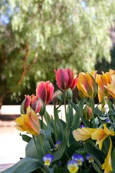 Artist Viridiflora tulips