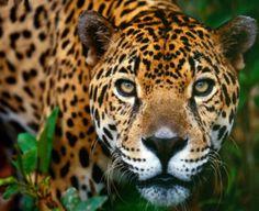 Fauna de la selva peruana - El otoronto
