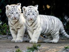 White tiger babies ~ adorable♡♡♡