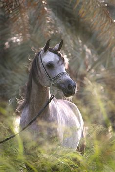 Gray Arabian Horse