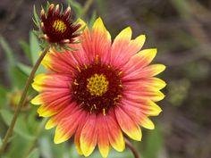 Texas Wildflower - 'Firewheel' Gaillardia my favorite flower