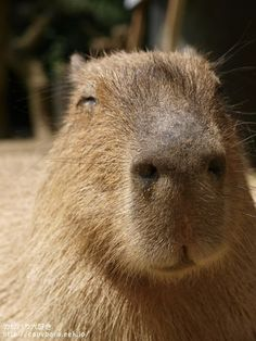 15 Best Capybaras Images Guinea Pigs Rodents Capybara