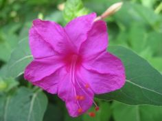4 o'clock flowers - we have these growing in our garden from seed in wonderful bushes.  They bloom at 4 o'clock every day!