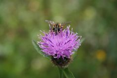 Fly on Thistle head at Cae Hir Gardens