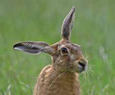 Hare Population Declines and Action Plans : Humane Society . Hare Images, Rabbit Sculpture, Rabbit Photos, March Hare, Jack Rabbit, British Wildlife, Animals Of The World, Humane Society, Beautiful Creatures