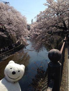 クマ散歩:大岡川を品行方正なクマが上る8 (弘明寺) The Bear took a walk up the Ooka River!♪☆(^O^)/