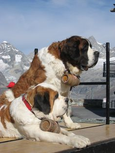 Saint Bernard dogs with a brandy barrel as a necklace