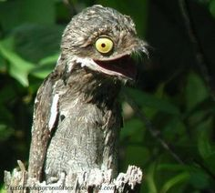 The Potoo bird from South and Central America. It looks like a weird hand puppet.