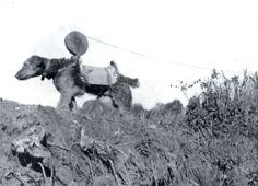 Airedale verlegt Telefonkabel (signal wire) im Kriegsgebiet