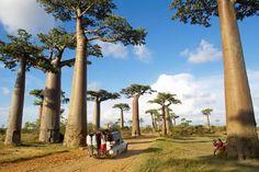 Madagascar, Morondava, Baobab trees (Adansonia sp.) lining road - Raphael Van Butsele/The Image Bank/Getty Images