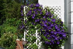 If you press me, I will admit that people admire my Clematis jackmanii. This admiration has led several, including neighbors and friends, to ask me how to get more plentiful Clematis flowers. Clematis Plants, Clematis Flower, Clematis Vine, Climbing Clematis, Climbing Vines, Outside Plants, Raised Vegetable Gardens, All About Plants, Gardens