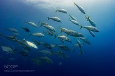 amberjack school in the blue by pierluigileggeri100 #nature #photooftheday #amazing #picoftheday #sea #underwater