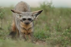 bat-eared-fox.jpg