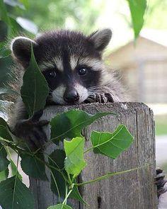 Baby raccoon. AWWH~! I want it, bless it's wittle heartttt...
