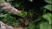 Hvordan får man mos på en krukke og hvordan planter man blomster ind i en skrænt? Anne Just viser det og meget mere fra sin have i Hune. Claus Dalby viser eksempler på planter, der kan gro i skygge, og vi besøger en rhododendron-ekspert, der giver gode råd om surbedsplanter.