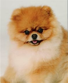 Bentley, the adorable Pom at 2 years old