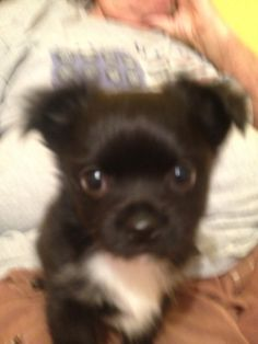 Mi Amor @ 46 days old 12/11/2015.  My gorgeous  gift from God, our Creator in Heaven.  What an artist He is.  She is my Blessing.   For more info on adoption  Call: Elaine Wade's Chihuahuas, Sebring Florida  (517) 745-3652