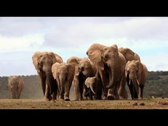 Solving the elephant poaching crisis - MacArthur 100&Change and Wildlife...