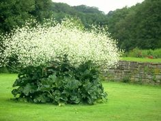 Soleil, mi-ombre. Une géante pleine de grâce à l'odeur divine. Sa floraison (juin-juillet) blanche en nuage fin à l'odeur de miel culmine à presque 2 mètres de hauts.Son feuillage est vert foncé, ondulé et imposant.Idéale pour ajouter  structure et inrérêt à vos massifs ou comme plante vedette entourée de plantes basses ou de pelouse. haut 180x120cm