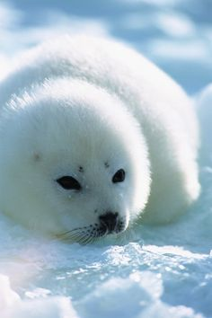 a sweet little Harp Seal