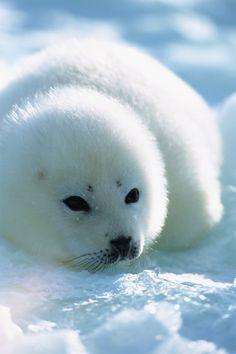 a sweet little Harp Seal