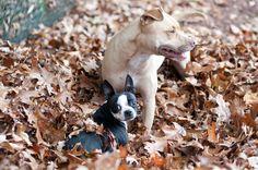autumn fall pitbulls   See more at Flickr .