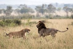 The spectacular beauty of lions: Photographers celebrate the pride of nature