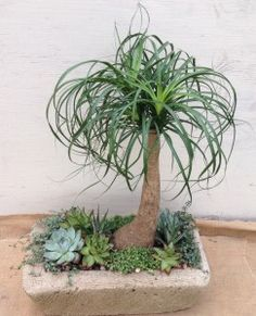 Ponytail palm and succulents #oakstreetgardenshop #succulents