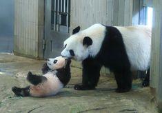 ※ひたすらかわいいパンダの写真が続く記事です