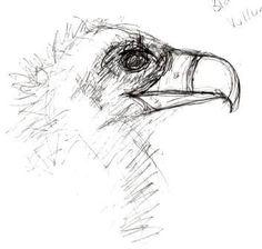 Eurasian Black Vulture: Sketch by Max Frances