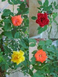 """Elas são lindas e florescem o ano todo mostrando assim, toda a sua beleza em tamanho pequeno. Seu nome científico é """"Rosa Chinensis"""" e é da ..."""