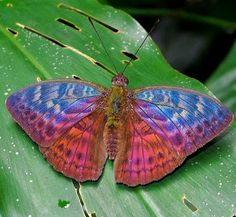 Beautiful Fire Moths | beautiful , Bebearia tentyris , Hewitson's Forester , insect