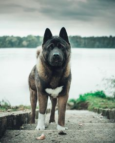 Likes, 34 Kommentare - ⠀⠀⠀⠀⠀⠀⠀⠀⠀⠀⠀⠀ M . Live Animals, Animals And Pets, American Akita, Japanese Dogs, Akita Dog, English Mastiff, Horses And Dogs, Australian Cattle Dog, Dogs Of The World