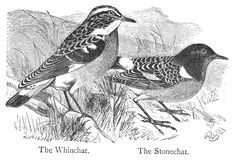 Black and white drawing of a whinchat and a stonechat.