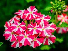 https://flic.kr/p/JiRuPU | Cherryburst Royale Verbena | The brilliant colors of this Verbena hybrid just explodes in this macro capture!