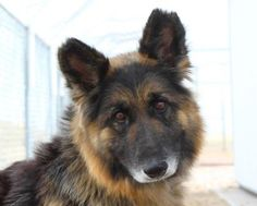 ●6•8•17 SL●COLORADOGina, a lovely 7y old German Shepherd. National Mill Dog Rescue. Denver, CO.