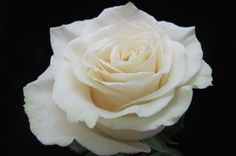 """Cream """"Montail"""" rose"""