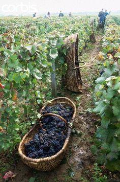 Grape harvest ... https://www.pinterest.com/source/rurallyyours.tumblr.com/