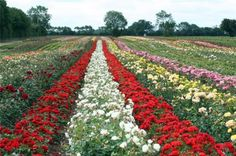 Whartons Rose Fields- how awesome to walk through a rose field someday